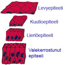 Epiteeli