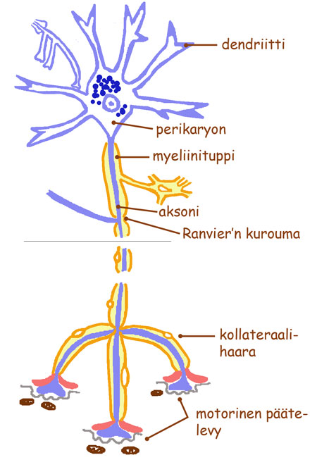 Hermosolun toiminta
