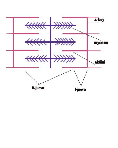 Sarkomeerin rakenne