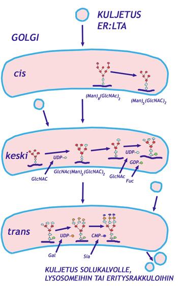 Endosytoosi