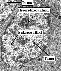 Eukromatiini